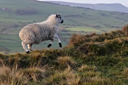 Lively Ewe by Mark Ollier