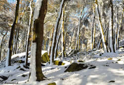 Snowy Roaches Wood by Scarramooch